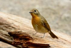 Female hill blue flycatcher Royalty Free Stock Photography