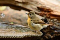 Female hill blue flycatcher Stock Photo