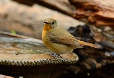 Female hill blue flycatcher Royalty Free Stock Images