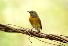 Female hill blue flycatcher Stock Photos