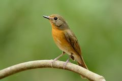 Female hill blue flycatcher Stock Photography