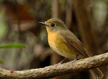 Female hill blue flycatcher Stock Images