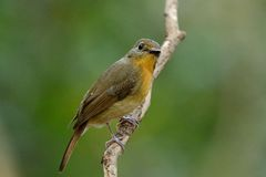 Female hill blue flycatcher (Cyornis banyumas) Royalty Free Stock Photo