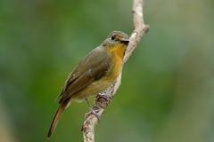 Female hill blue flycatcher (Cyornis banyumas) Royalty Free Stock Photo