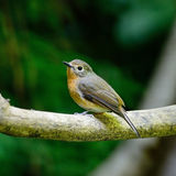 Female Hill Blue Flycatcher Royalty Free Stock Photo