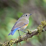 Female Himalayan Bluetail Stock Photos