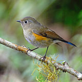 Female Himalayan Bluetail Royalty Free Stock Images