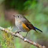 Female Himalayan Bluetail Royalty Free Stock Photos