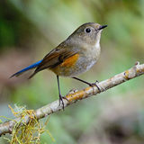 Female Himalayan Bluetail Stock Photo