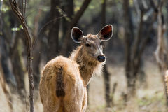 Female Hind Rusa Unicolor or Sambar Deer. Female hind Rusa Unicolor of Sambar Deer at summer season looking back Stock Photo