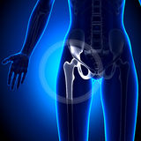 Female Hip Joint - Anatomy Bones Royalty Free Stock Image