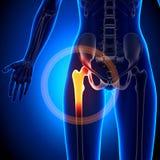 Female Hip Joint - Anatomy Bones Royalty Free Stock Image