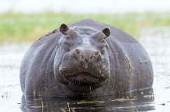 Female Hippo, Chobe, River, Botswana Royalty Free Stock Photos