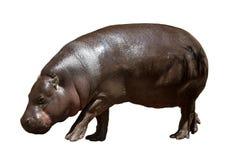 Female hippopotamus. Isolated on white Royalty Free Stock Images