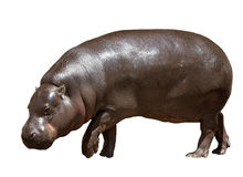Female hippopotamus. Isolated Stock Photography