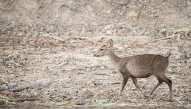 Female hog deer Royalty Free Stock Photo