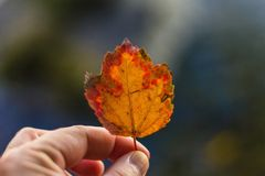 Female holding a beautiful yellow and red leaf with blurred natural background stock images