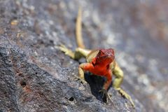 Female Hood Lava Lizard On Espanola Island, Galapagos National P Royalty Free Stock Photo