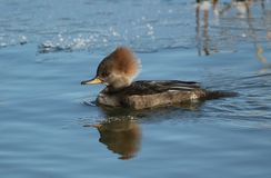 Female Hooded Merganser Stock Photos