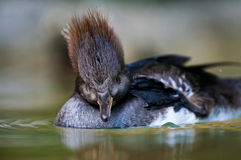 Female Hooded Merganser Stock Photography
