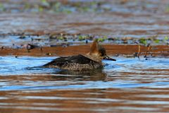 Female Hooded Merganser Royalty Free Stock Images