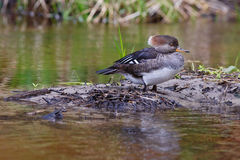 Resting female merganser duck Stock Photography