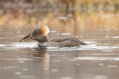 Female Hooded Merganser Lophodytes cucullatus Stock Images