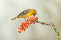 Female Hooded Oriole Royalty Free Stock Photo