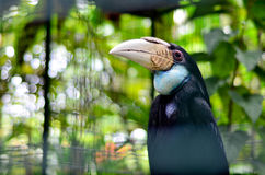 A female hornbill. Royalty Free Stock Photo