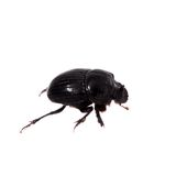 Female of Horned dung beetle on white Stock Photo