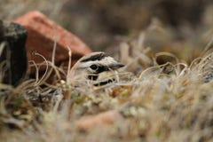 Female Horned Lark in a nest. Female Horned Lark hiding in her nest among grass on the arctic tundra Royalty Free Stock Photo