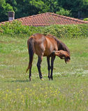 Female horse cleaning oneself. Horse cleaning oneself in the country background Stock Image