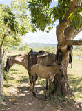 Female horse and colt in Cuban farm. Female horse and colt under a mango tree in the Cuban countryside stock photos