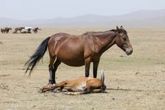 A female horse with her foal lying down near Song Kul lake. In Kyrgyzstan Stock Photo