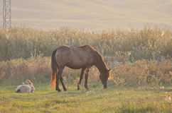 Horse with foal grazing Royalty Free Stock Images