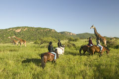 Female horseback riders ride horses in morning near Masai Giraffe at the Lewa Wildlife Conservancy in North Kenya, Africa Royalty Free Stock Images