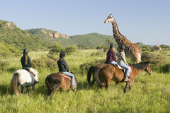 Female horseback riders ride horses in morning near Masai Giraffe at the Lewa Wildlife Conservancy in North Kenya, Africa Stock Photos