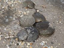 Female Horseshoe crab dragging males over eggs stock footage