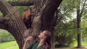 Female hostess walking fox in park outdoors. red, wild pet sitting stock video footage