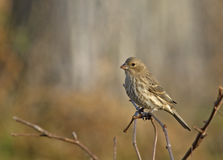 Female House Finch. Photograph of a wonderfully detailed female House Finch perched on a thicket surveying a Wisconsin backyard royalty free stock images