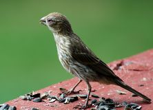 Female House Finch Stock Image