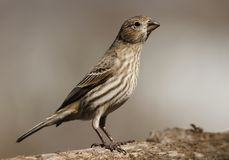 Female House Finch Stock Photos