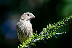 Female House Finch Stock Photography
