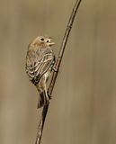 Female House Finch Royalty Free Stock Image
