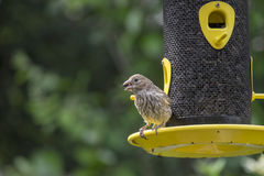 Female House Finch at a Bird Feeder Royalty Free Stock Photos
