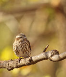 Female House Finch, Carpodacus mexicanus Stock Photography