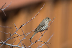 Female House Finch (Carpodacus mexicanus) Royalty Free Stock Photo