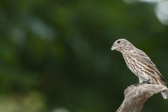 Female House Finch. With muted negative space background stock photography