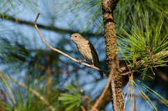 Female House Finch. Perched Female House Finch Athens Georgia Royalty Free Stock Photo