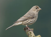 Female House Finch - Carpodacus mexicanus Royalty Free Stock Photos